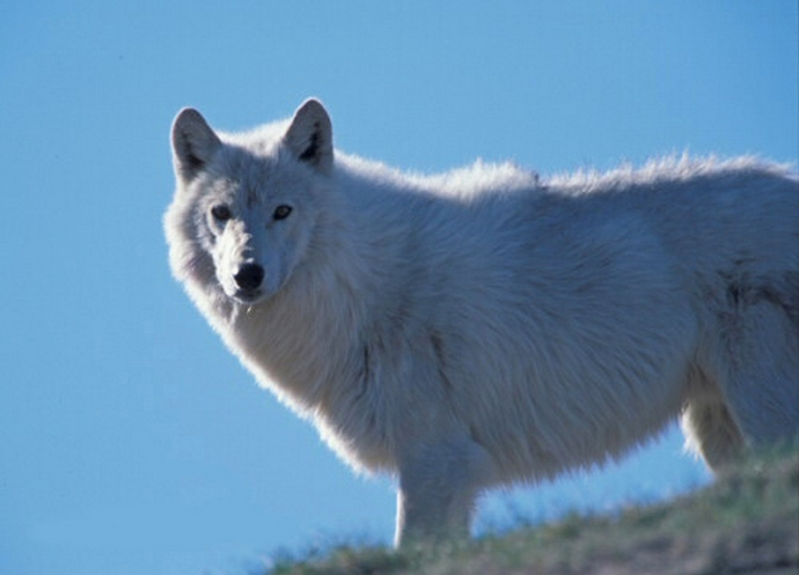 Search for the Legendary Tundra Wolves